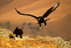 A black eagle pair mates for life.